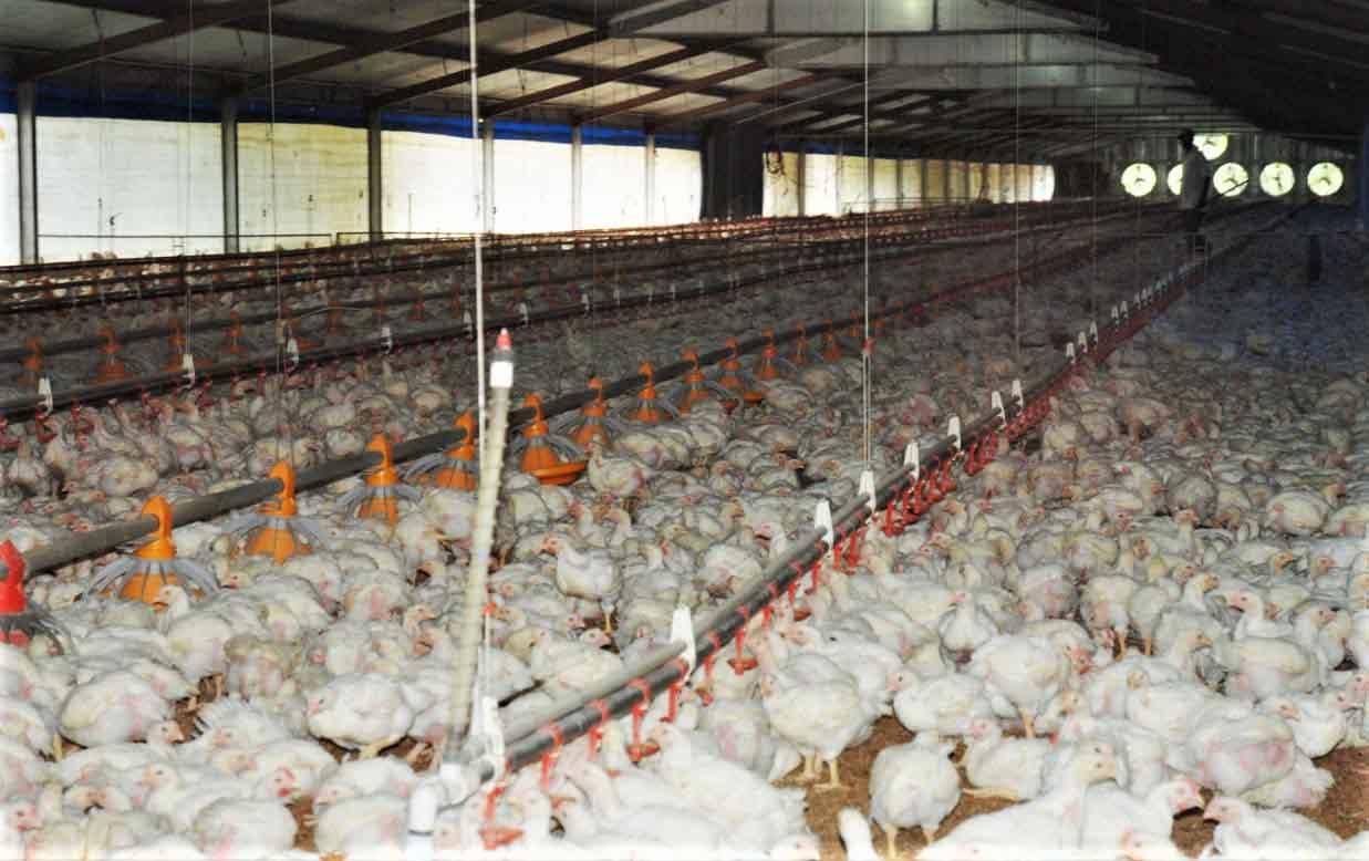 pollos rd