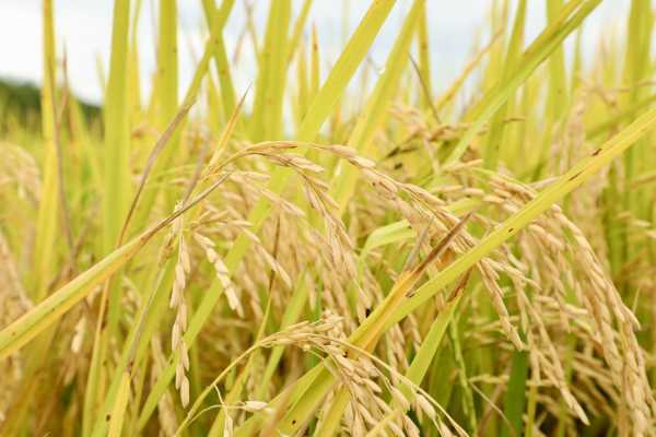 arroz dominicano rd